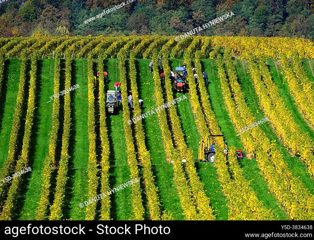 Harvest, vineyards in autumnal colors, October, La Cote wine region, La Côte, Bougy-Villars above the town of Rolle, district of Morges, canton Vaud, Romandy