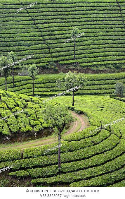 India, Kerala, Munnar, Lockhart tea plantation