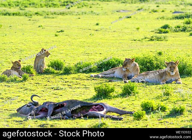 Lion (Panthera leo) pride with a blue wildebeest or common wildebeest, white-bearded wildebeest or brindled gnu (Connochaetes taurinus) that they have killed