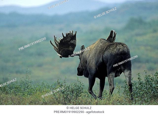 Moose, Alces alces, Alces alces gigas