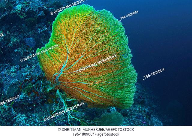 Gorgonian Sea Fan at Sipadan Borneo Malaysia
