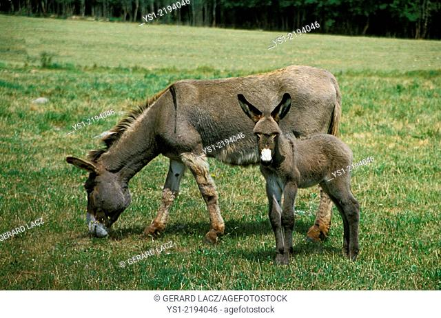 Grey Domestic Donkey, a French Breed, Mother and Foal