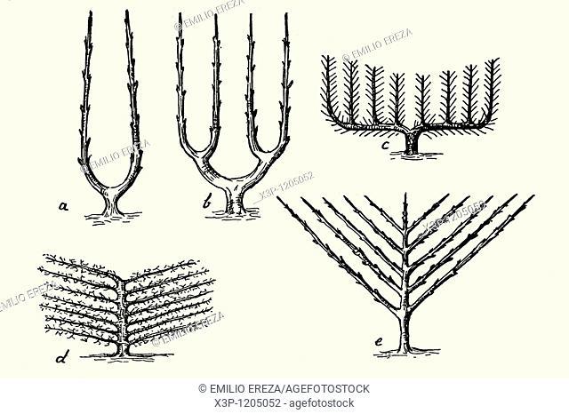 Prune shapes  Antique illustration  1900