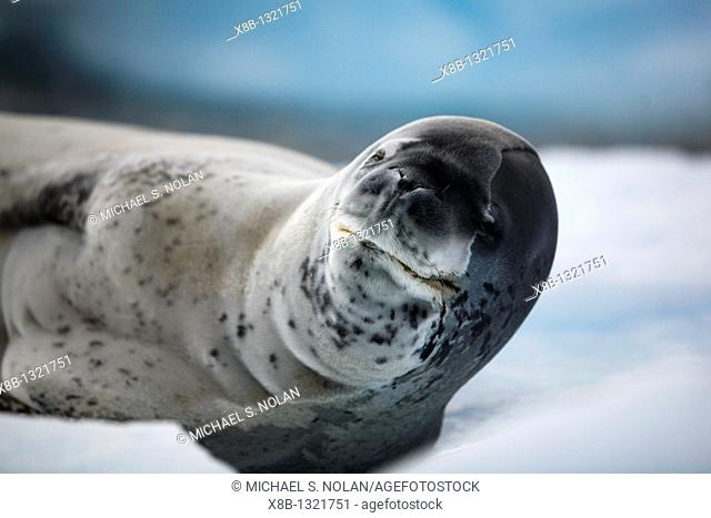An adult Leopard Seal Hydrurga leptonyx hauled out and resting on an ice floe in Lemaire Channel on the Southwest side of the Antarctic Peninsula