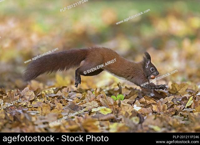 Eurasian red squirrel (Sciurus vulgaris) collecting hazel nuts on the ground and running away with hazelnut / hazel nut in mouth in autumn