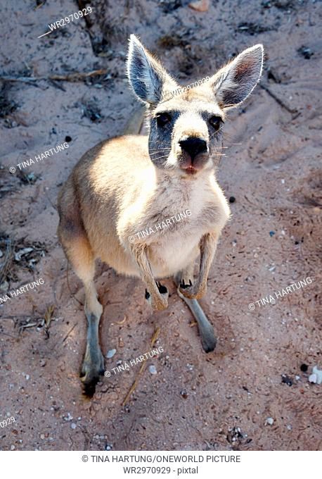 Australia, West Australia, Cape Range National Park, very confidant and pending wild kangaroos, who had been looking for our drinking water and bread
