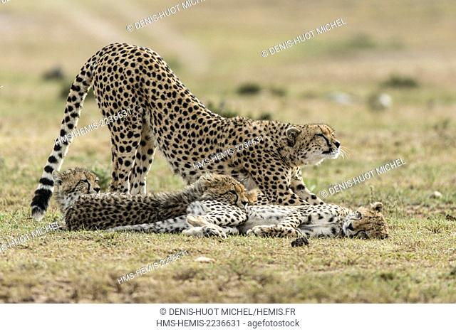 Kenya, Masai Mara game reserve, cheetah (Acinonyx jubatus), female and cubs 7/8 months old