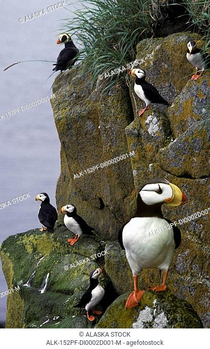 Tufted & Horned Puffin together on rocky cliff of Round Island Game Sanctuary Bering Sea Alaska Composite