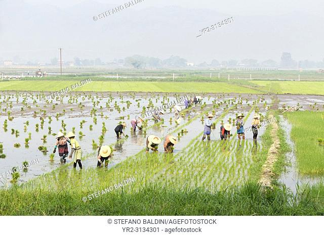 Farmers working in a rice field, Nyaungshwe, Myanmar