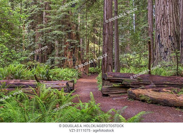 Sun between rain storms on a path in Stout Memorial Grove, Jedediah Smith Redwoods State Park, CA, USA
