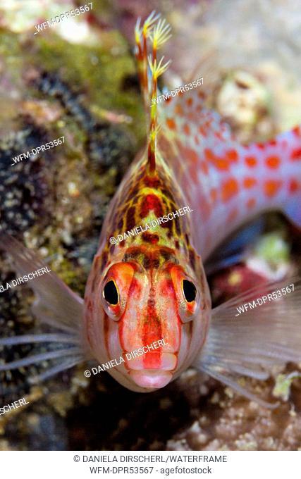 Dwarf Hawkfish, Cirrhitichthys falco, Florida Islands, Solomon Islands