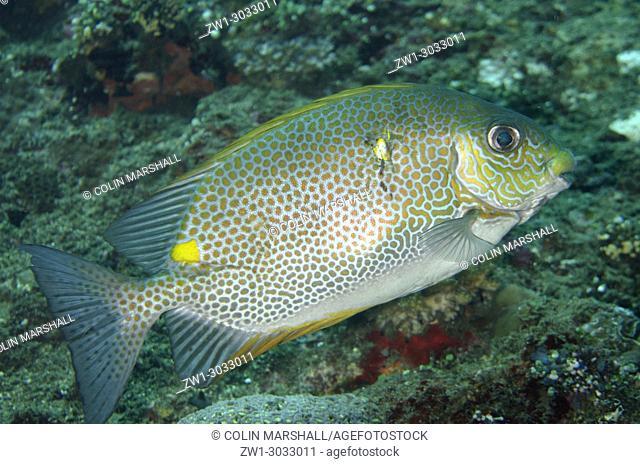 Golden Rabbitfish (Siganus guttatus), Liberty Wreck dive site, Tulamben, Bali, Indonesia
