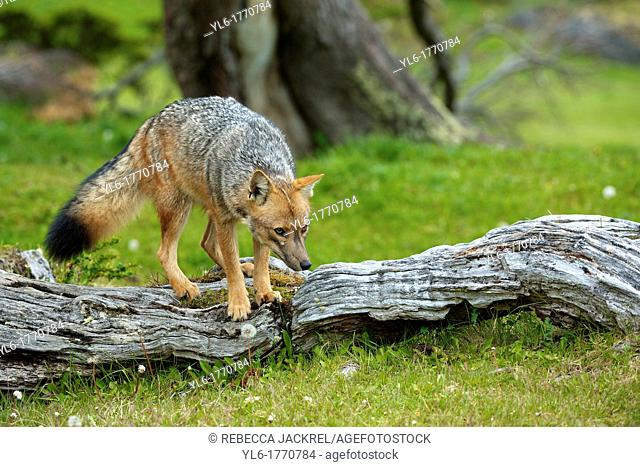A Pategonian grey fox Lycalopex griseus climbs over a fallen tree in the Parque National Tierra del Fuego, Argentina