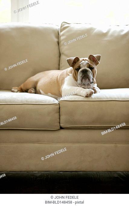 English bulldog laying on sofa