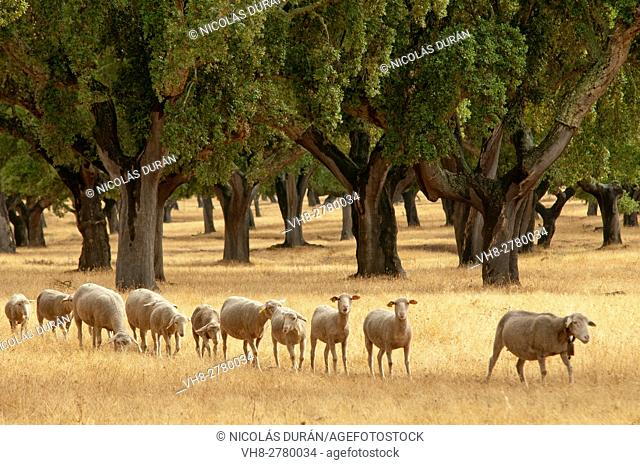 Merino Sheep (Ovis aries), Holm Oak or Holly Oak forest (Quercus suber). Sierra de San Pedro, Extremadura, Spain