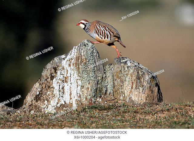 Red legged Partridge Alectoris rufa, male stepping up on stone, Portugal