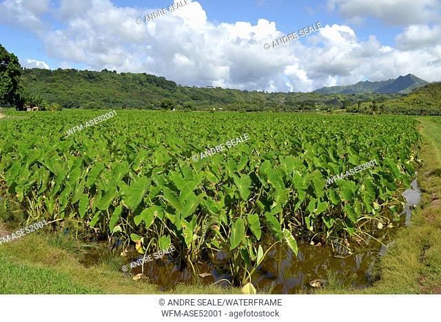 Taro Plantation at Hanalei Valley, Colocasia esculenta, Kauai, Hawaii, USA