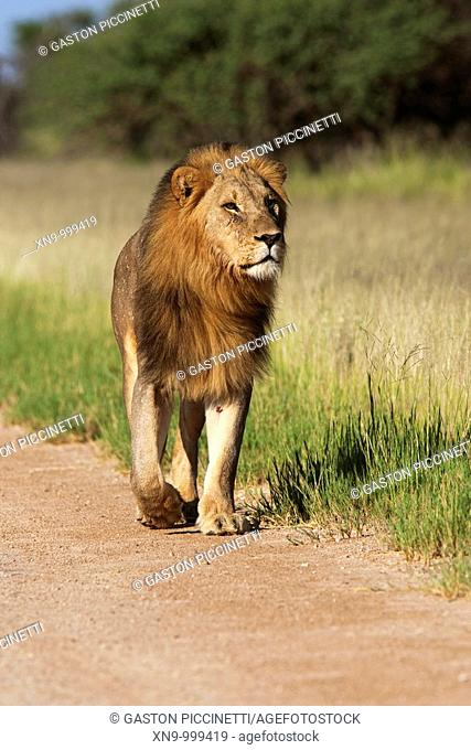 African Lion Panthera leo - Male, walking in the gravel road , Etosha National Park, Namibia, Africa