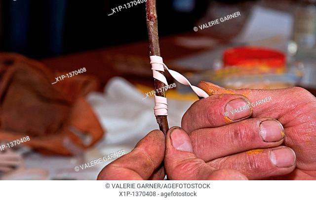 This stock photo shows a closeup of man's hands demonstrating how to graft a tree by securing with a rubber band