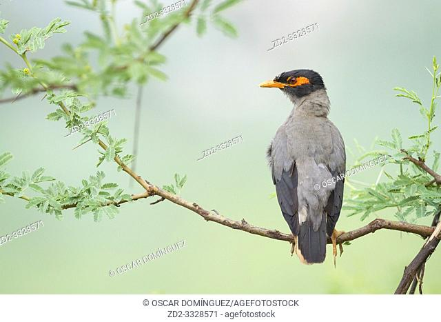 Bank Myna (Acridotheres ginginianus) perched on branch. Rajasthan. India
