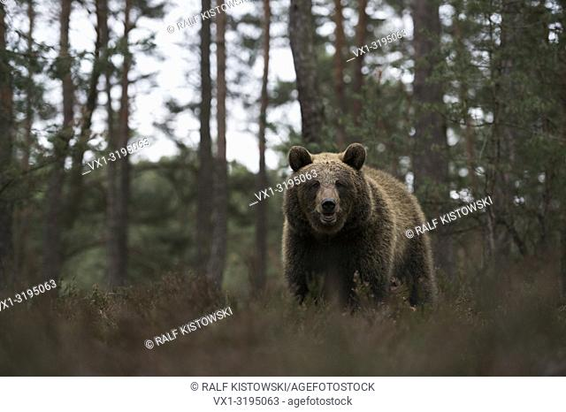 Eurasian Brown Bear (Ursus arctos) at the edge of a pine forest, standing in dry heather, frontal low point of view.