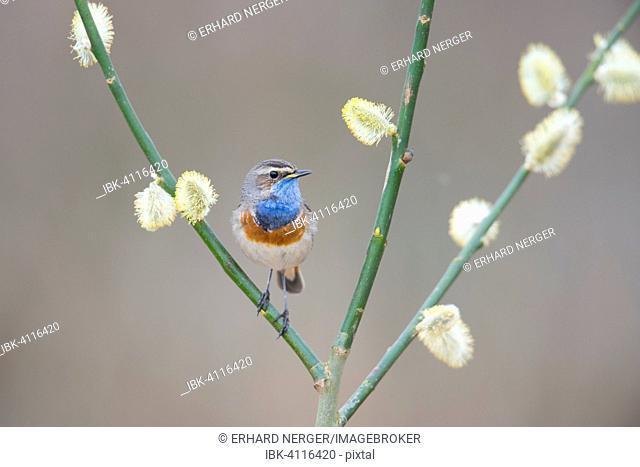 Bluethroat (Luscinia svecica), Emsland, Lower Saxony, Germany