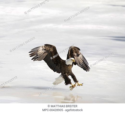Bald Eagle (Haliaeetus leucocephalus) landing on ice with fish, Canada