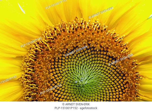 Common sunflower (Helianthus annuus) close up showing flower head displaying florets