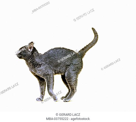 Korat Domestic Cat