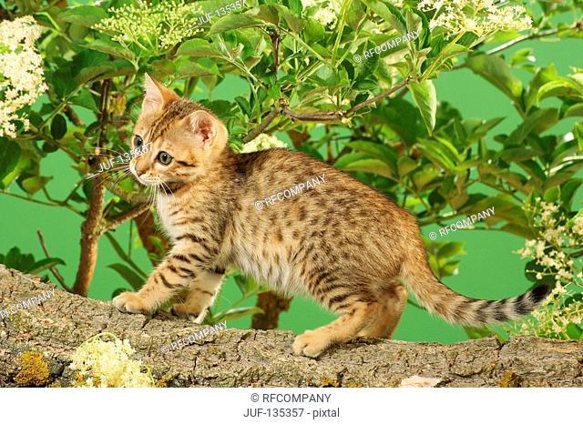 Bengal kitten on branch