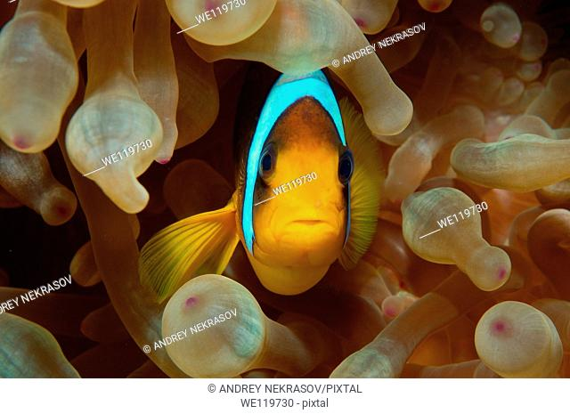 Two-banded clownfish, Anemonefish Amphiprion bicinctus, Red Sea, Egypt, Africa