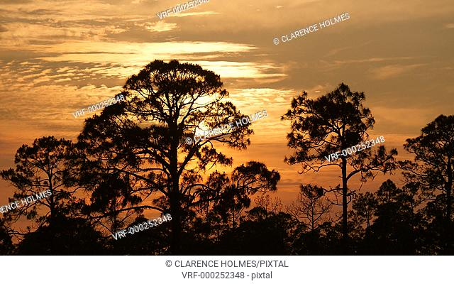 The setting sun turns the sky orange over silhouetted longleaf pine trees in Highlands Hammock State Park