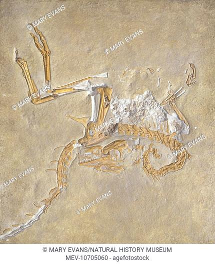 A well preserved fossil of the Compsognathus, meaning elegant jaw. It was a small bipedal carnivorous dinosaur, reaching only 65 cms in height living during the...