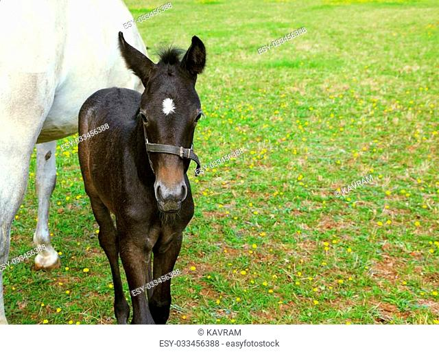 The rich country estate, with the special fence on the green lawn beautiful walk their horses. Thoroughbred white horse with a charming black colt