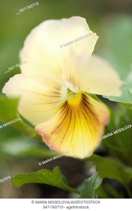 Yellow Brown Pansy Flower. Viola x wittrockiana. April 2008, Maryland, USA