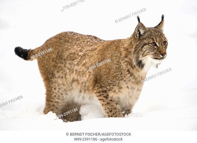 Lynx (Lynx lynx) standing in deep snow, National Park Bayerischer Wald, Bavaria, Germany