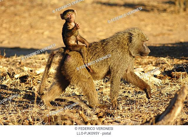 Olive Baboon Papio anubis baby taking a ride on its mothers back. Buffalo Springs, Isiolo District, Kenya