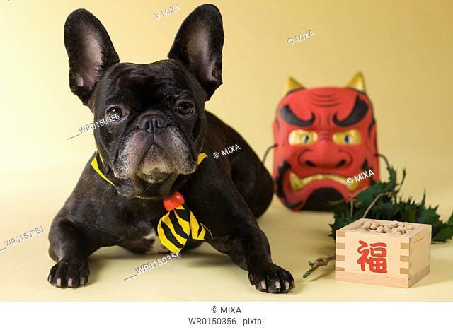 French Bulldog Puppy and Setsubun