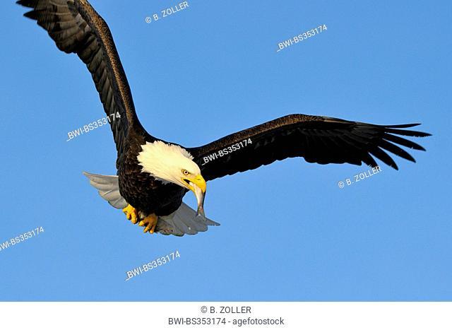 American bald eagle (Haliaeetus leucocephalus), adult eagle feeding in flight, USA, Alaska