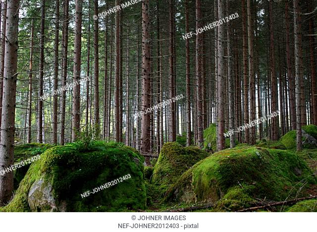 Trees and mossy rocks in forest