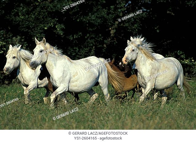 Camargue Horse, Herd Trotting, Saintes Maries de la Mer in the South East of France
