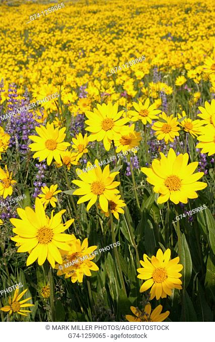 Wildflowers on Dunraven Pass Yellowstone National Park USA