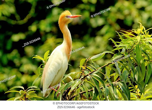 Cattle Egret in Plumage, Bubulcus ibis, Ranganathittu Bird Sanctuary, Karnataka, India