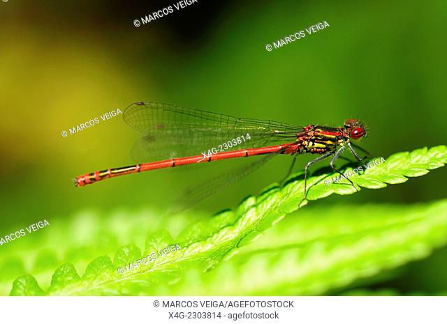 Male Large Red Damselfly (Pyrrhosoma nymphula) with mites on the thorax underside, probably of the genus Arrenurus