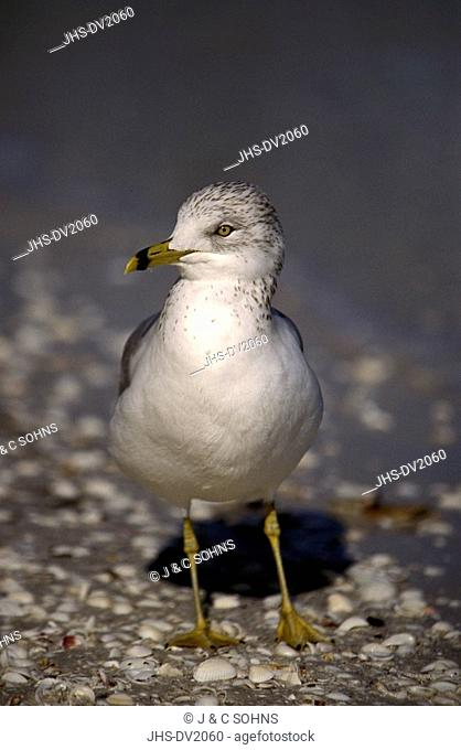 Ring-billed Gull,Larus delawarensis,Sanibel Island,Florida,USA,adult