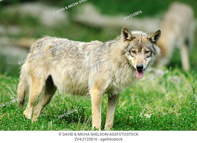 Eastern wolf (Canis lupus lycaon) standing on a meadow, Germany, Europe