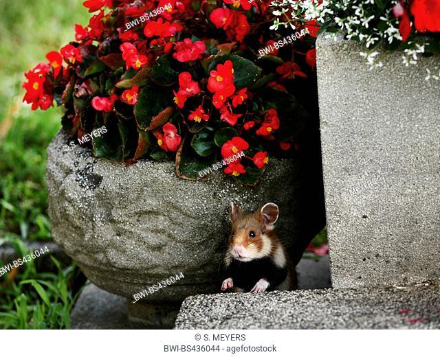 common hamster, black-bellied hamster (Cricetus cricetus), between flowerpot in a garden, Austria