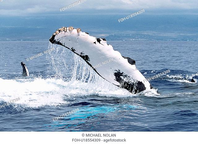 Adult Pacific humpback whale pec-slapping in the AuAu Channel, Maui, Hawaii.T