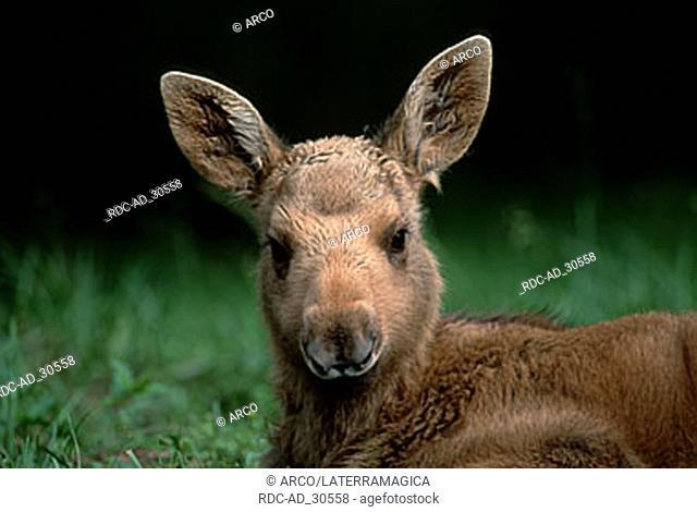 Moose calf Sweden Alces alces