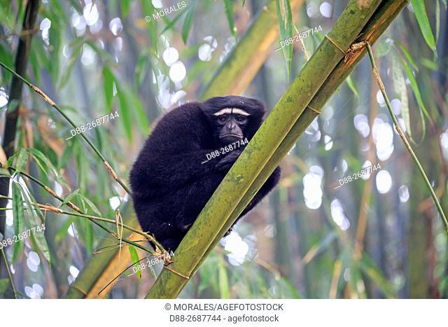 South east Asia, India, Tripura state, Gumti wildlife sanctuary, Western hoolock gibbon (Hoolock hoolock), adult male